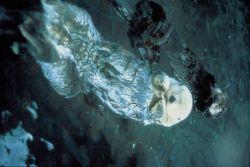 Southern Sea Otters Photo