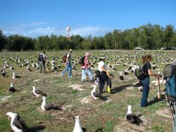 WOE196 Counting Laysan Albatross Nests Photo