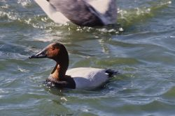 Canvasback Photo