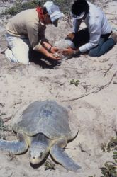 Collecting Kemp's Ridley Sea Turtle Eggs Photo