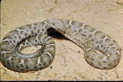 Mexican Ridged Nosed Rattlesnake Photo