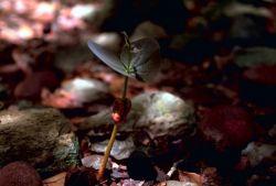 West Indian Mahogany Seedling Photo
