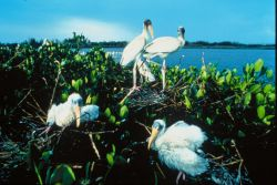 Wood Stork Chicks Photo
