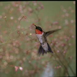 Ruby Throated Humming Bird Photo