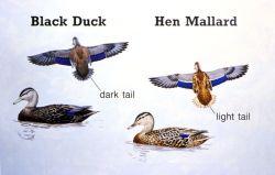 Waterfowl Identification 3502 Photo