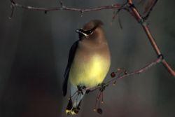 Cedar Waxwing Photo