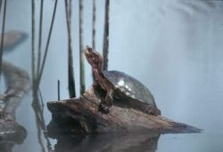 Western Pond Turtle Photo