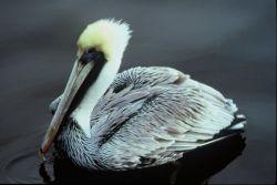 Brown Pelican Photo