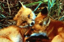 Red Fox Kits Photo