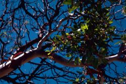 Texas Madrone tree Photo
