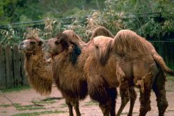 Bactrain Camels Photo