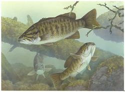 Smallmouth Bass Photo