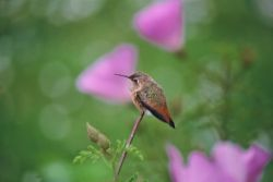 Allen's Hummingbird Photo