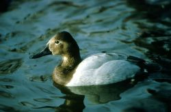Canvasback Hen Photo