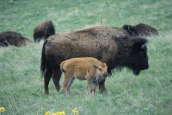 Bison Cow and Calf Photo