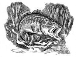 WOE221 Young Largemouth Bass Photo