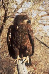 Immature Bald Eagle Photo