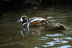 Harlequin Ducks Photo