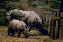 Indian Rhinos Photo