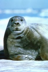 Bearded Seal Photo
