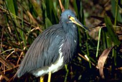 Tri Colored Heron Photo