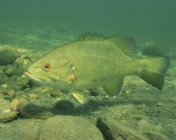Smallmouth Bass Photo