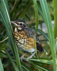 WOE222 Baby Robin Photo