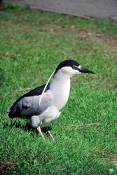 Black-crowned Night Heron Photo