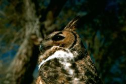 Great Horned Owl Photo