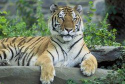 Tiger, Siberian Photo