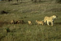 African Lion with Cubs Photo
