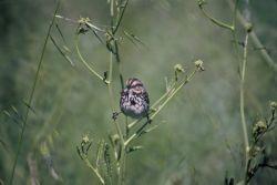 Song Sparrow Photo