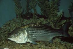 Striped Bass Photo