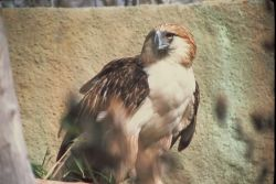 Monkey-eating Eagle Photo
