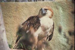 Monkey-eating Eagle Photo