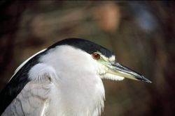 Black-crown Night-Heron Photo