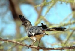 White-bellied Go Away Bird Photo