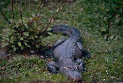 Chinese Alligator Photo