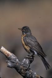 WO2460 American Robin Photo