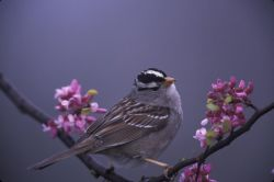 WO3763 White-crowned Sparrow Photo