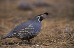WO3950 California Quail Photo