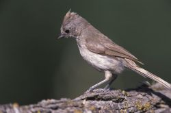 WO3922 Oak Titmouse Photo