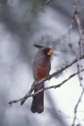 WO3919 Pyrrhuloxia Photo