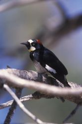 WO2438 Acorn Woodpecker Photo
