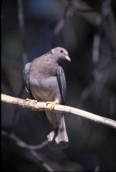 WO2477 Band-tailed Pigeon Photo