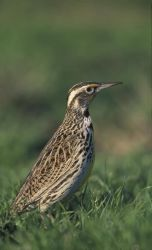 WO3784 Western Meadowlark Photo