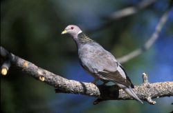 WO2468 Band-tailed Pigeon Photo