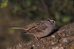 WO3767 White-crowned Sparrow Photo