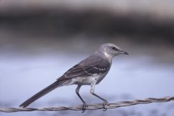 WO3934 Northern Mockingbird Photo