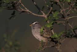 WO3766 White-crowned Sparrow Photo